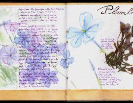 Herbarium: Plumbago – Plumbago auriculata