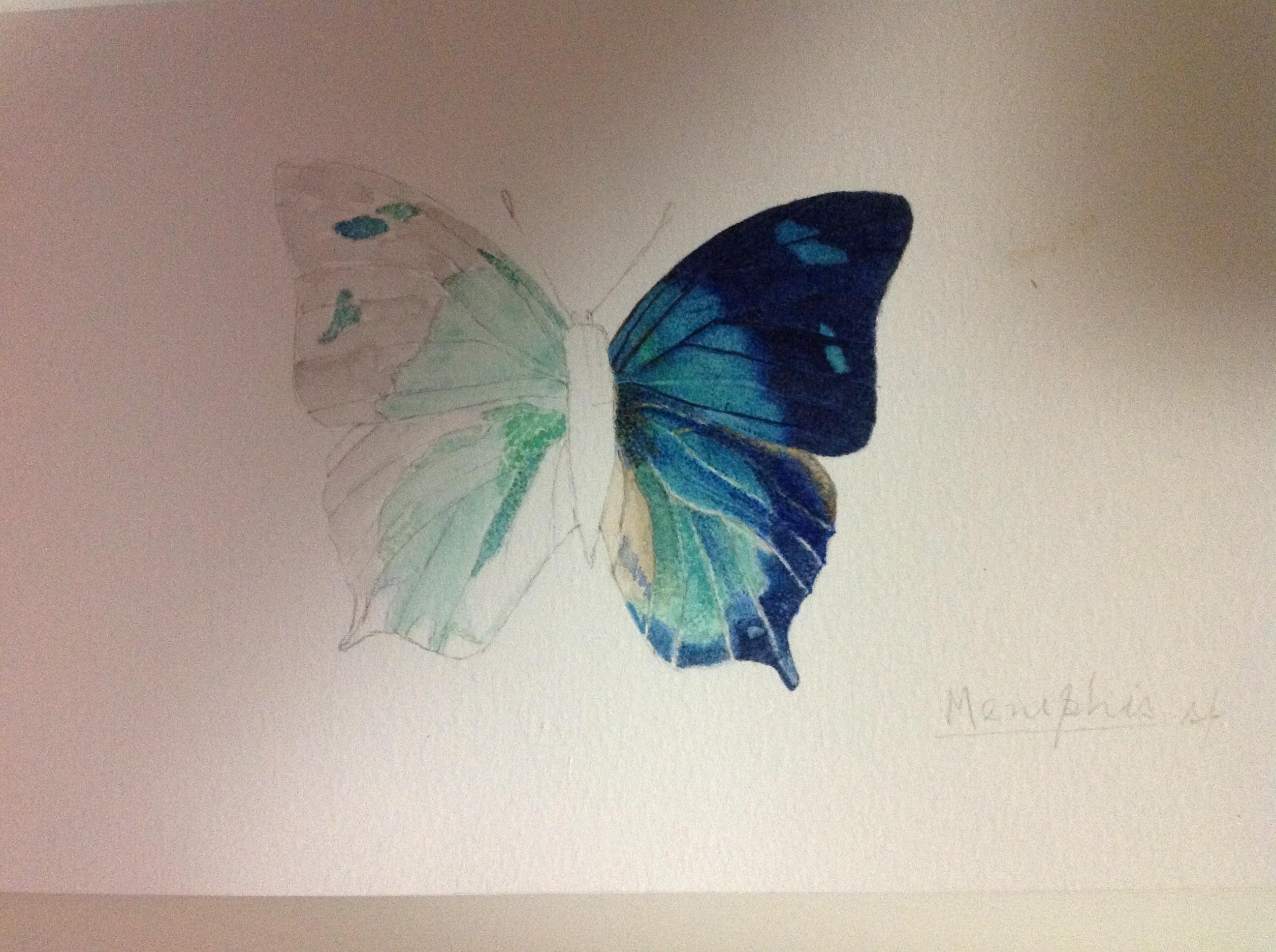 Butterfly:  Memphis sp.