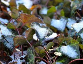 A Winter's Ermine