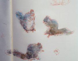 gray squirrel studies