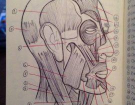 Human Anatomy – head