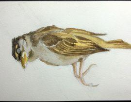 dead young sparrow