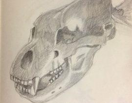 Skull of cave bear