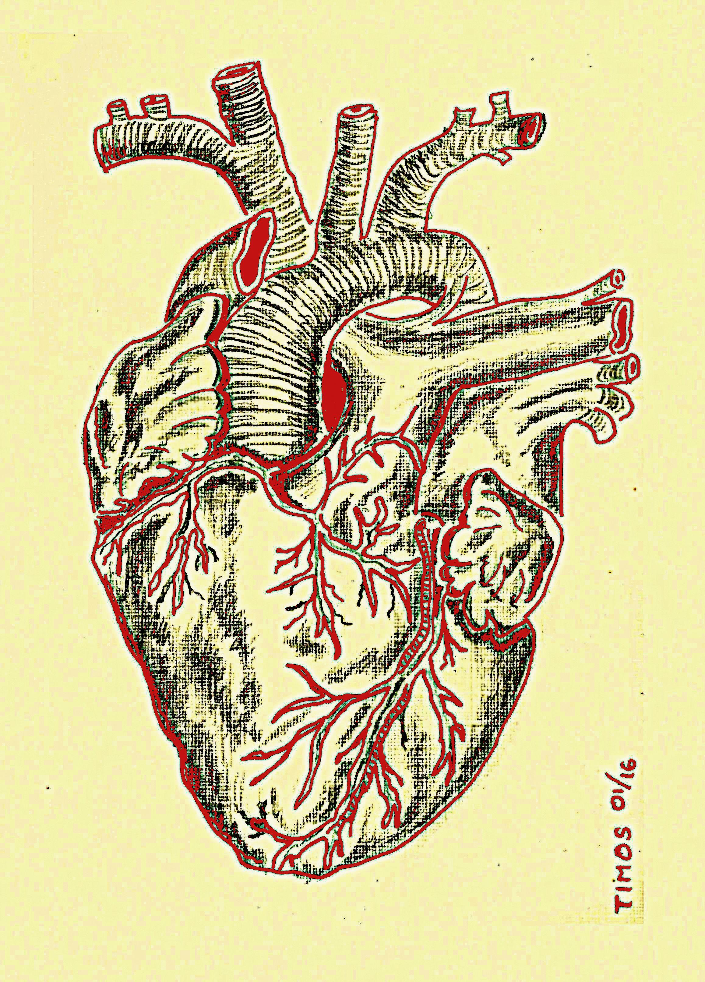 Heart – anatomical