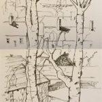 Birch trees in Devon