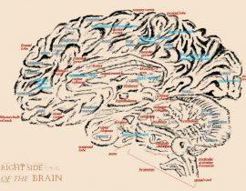 Brain, anatomical