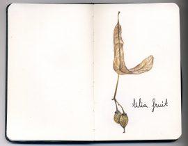 tilia fruit