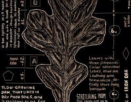 post oak – full leaf