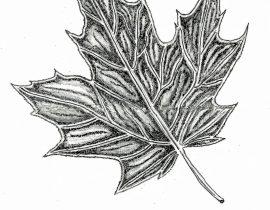 sugar maple – full leaf