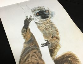 White- fronted brown lemur