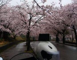 桜満開 #M_Sakura