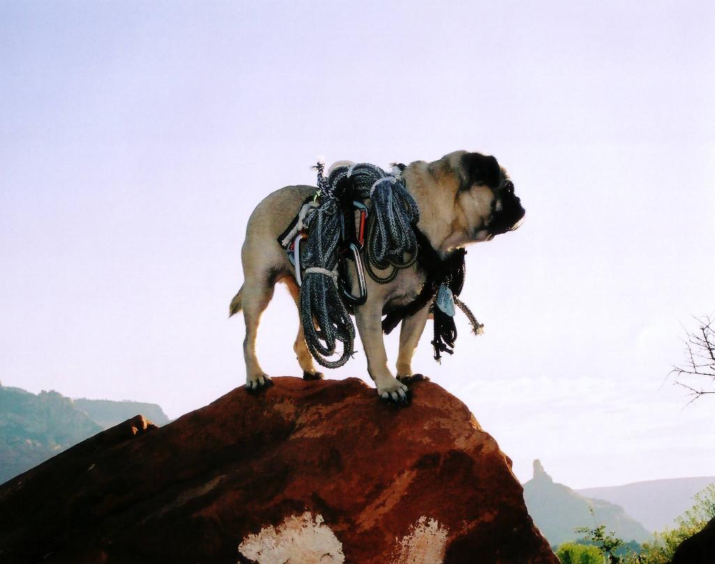 Vinny the Pug