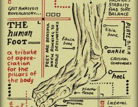 human foot – anatomical
