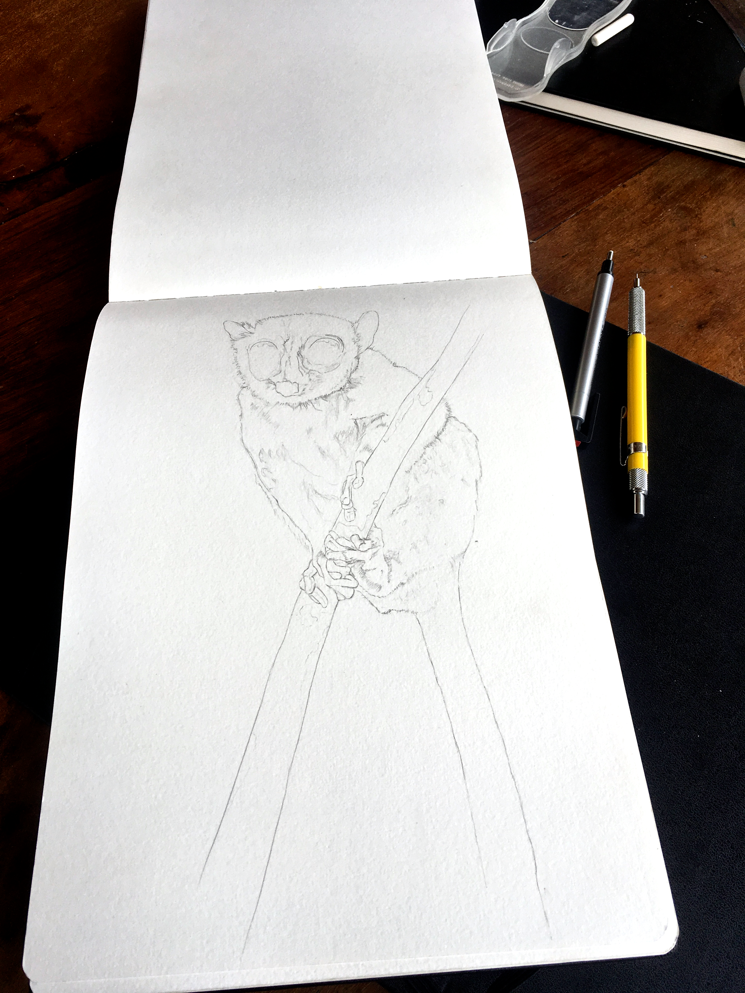 Mouse lemur drawing perched