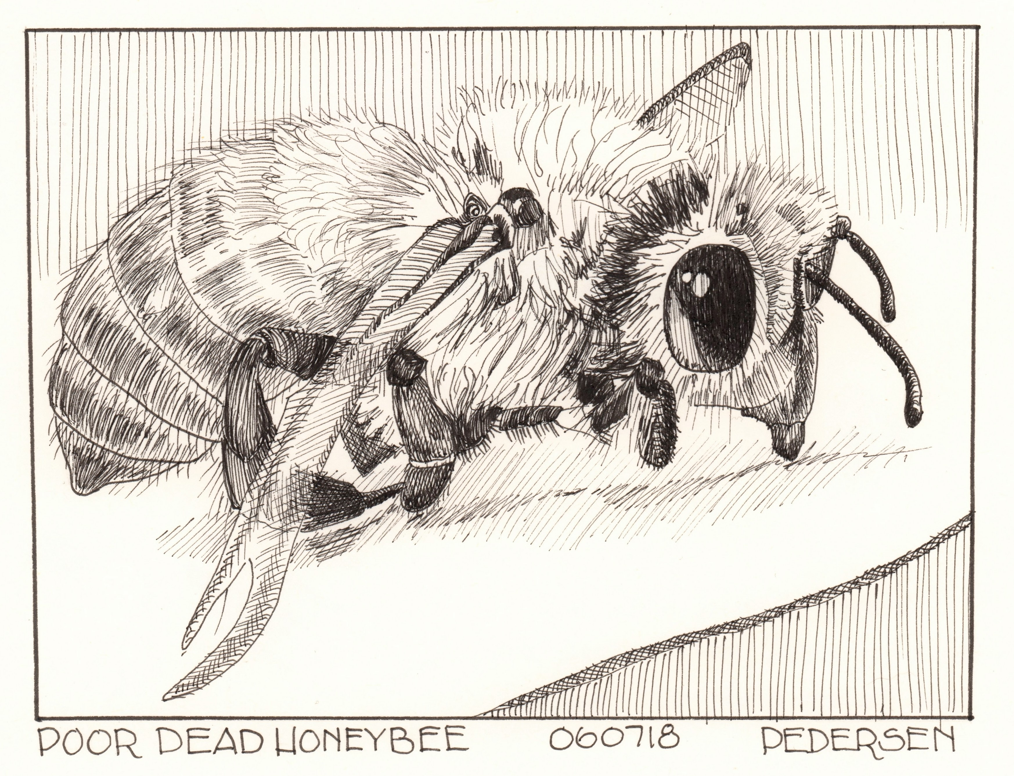 Honeybee Ink Drawing