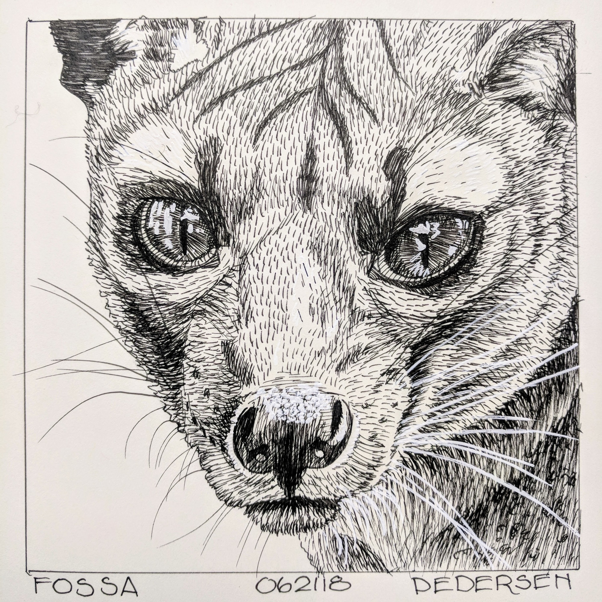 Fossa ink drawing
