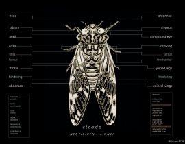 cicada capta