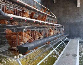 Harga Telur Ayam Ras Hari Ini