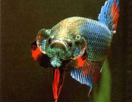 Betta Fish Travertine