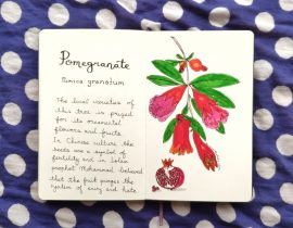 Pomegranate drawing