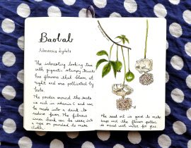 Baobab botanical drawing