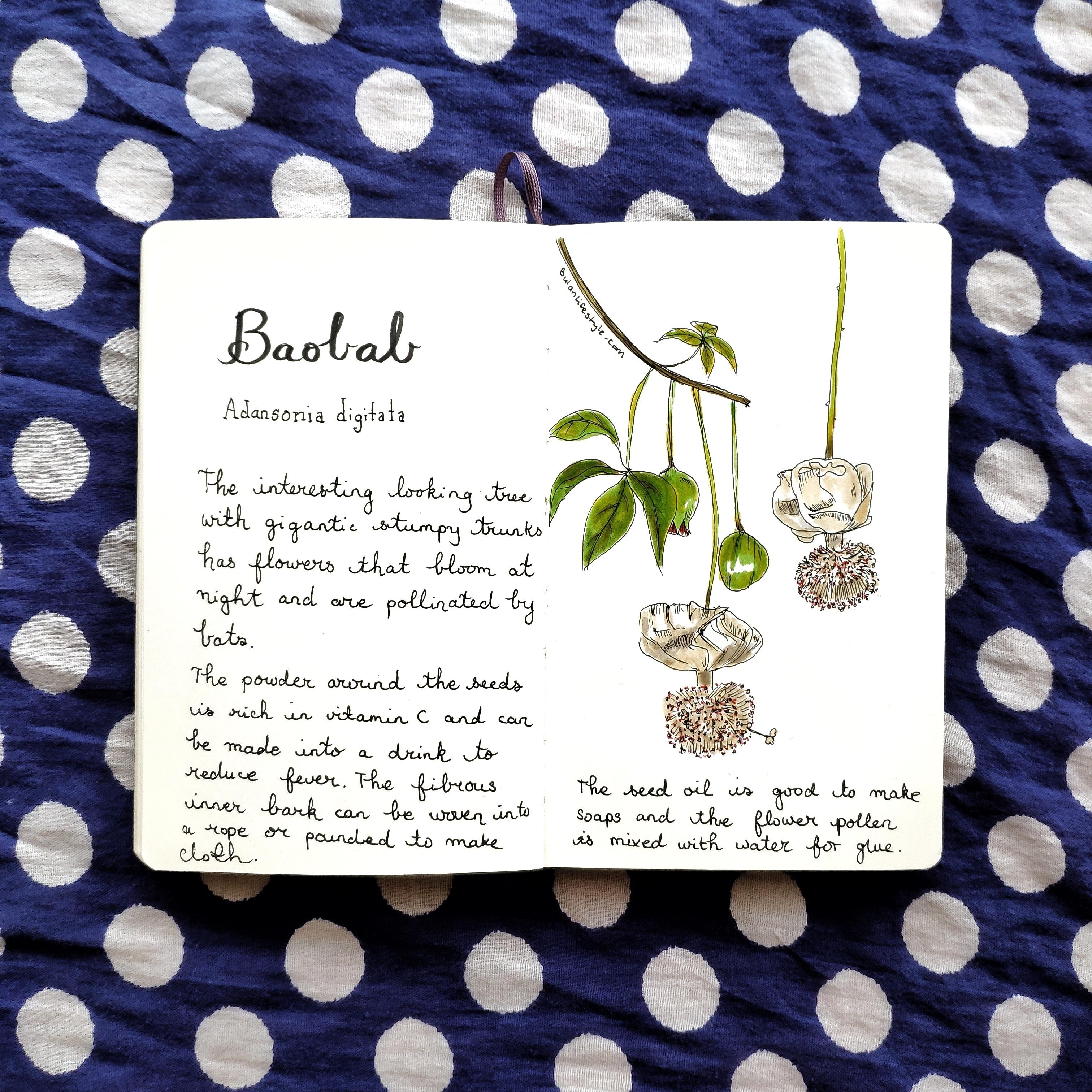 Baobab botanical drawing