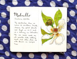 Mebrillo botanical drawing