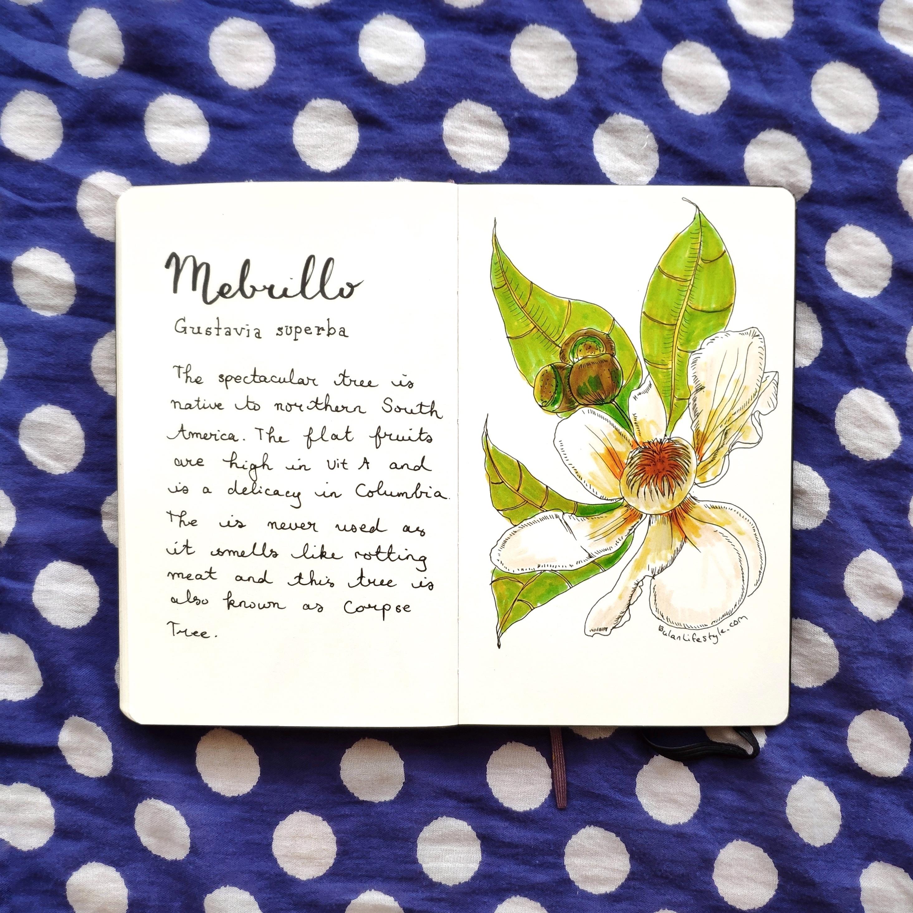 Mebrillo botanical drawing