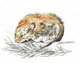 Apodemus argenteus – 蝦夷姫鼠