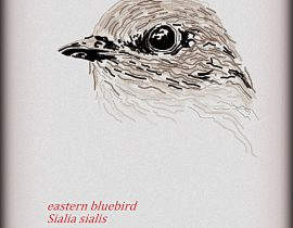 eastern bluebird  |  06.five.twenty20