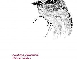 eastern bluebird  |  june.06.2020