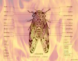 cicada   summer creature