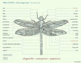 the annotated dragonfly | aug 07 2020