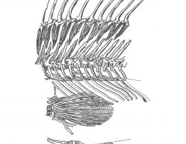 fish skeleton \ mid-section