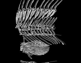 fish skeleton {mid section}
