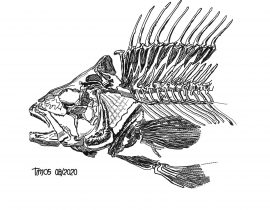 fish skeleton \ front and mid-section