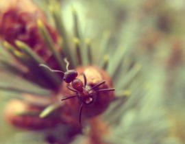 Semut HD