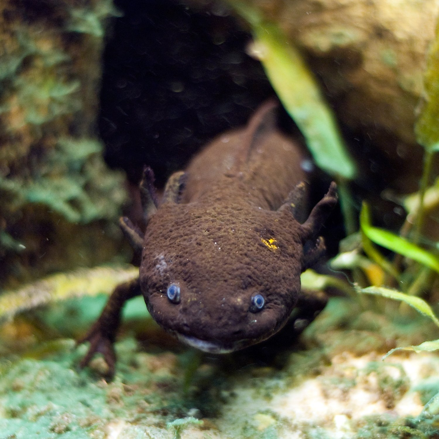 Are Axolotls Good Pets For You?