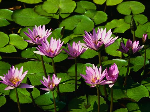Water liliesWater lilies
