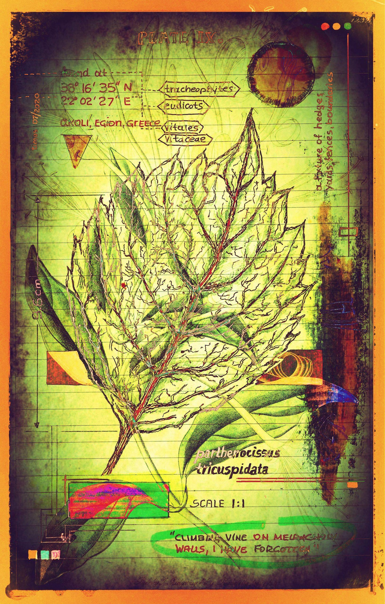 plantaneum prosperatus   plate 09