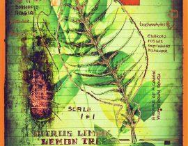 plantaneum prosperatus | plate 12