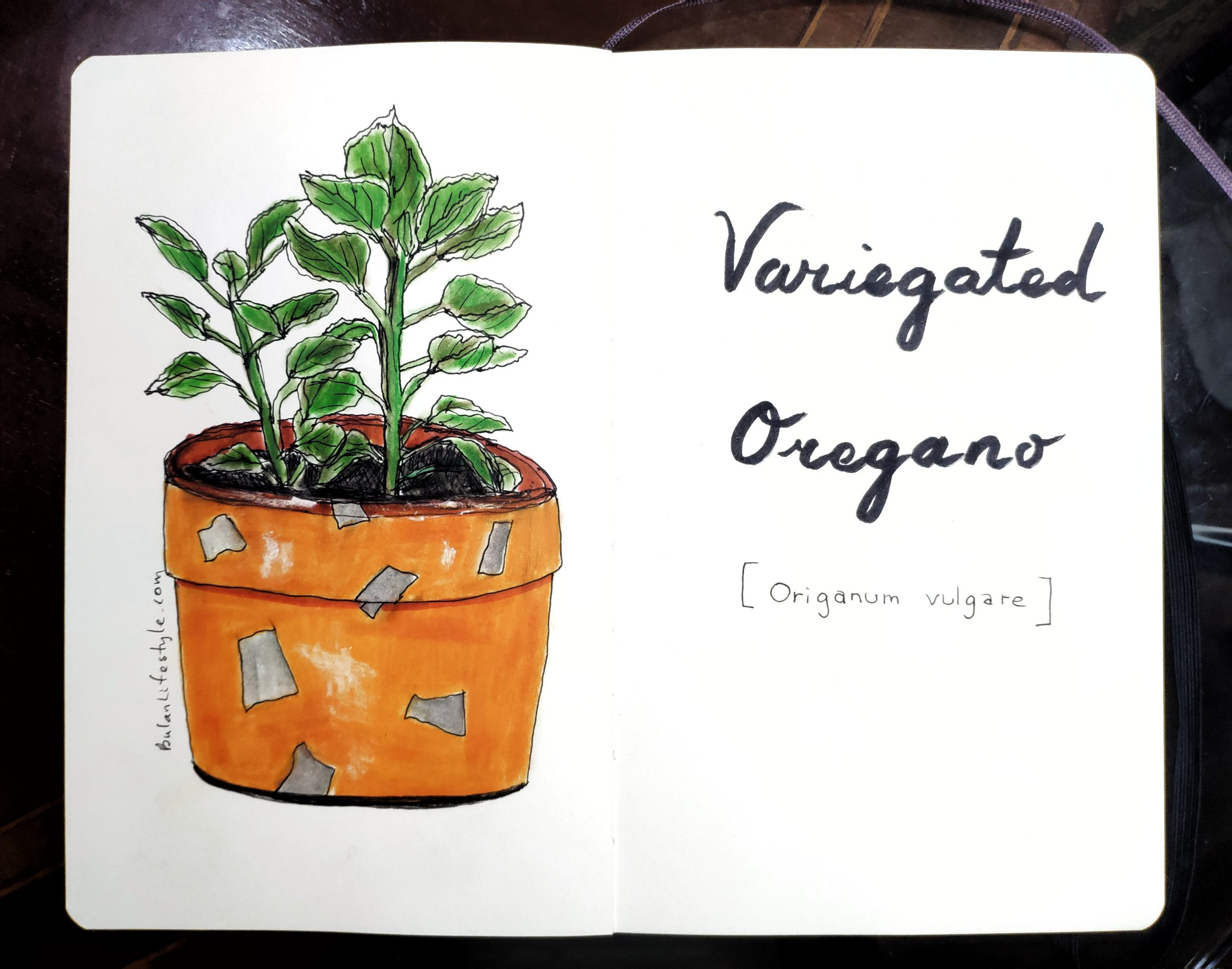 Variegated oregano