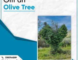 Gift an Olive Tree