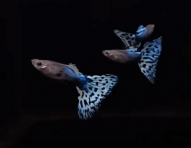 Memelihara Ikan Guppy Pada  Aquarium