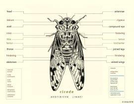 of cicadas, etc