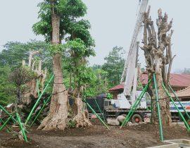Mengenal Pohon Pule